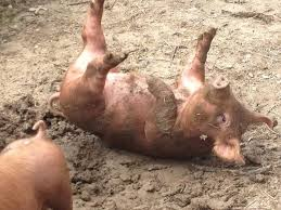 Pig in mud Intuitive Nature